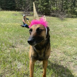 A silly German shepherd wearing a unicorn horn with purple feathers